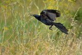 Fly Away Grackle