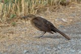Mrs. Grackle