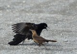Grackle Dance