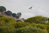 Northern Harrier Above the Trees