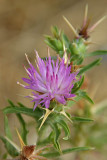 Unknown Purple Thistle?