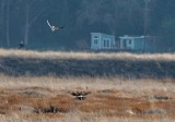 Kite Goes After Harrier