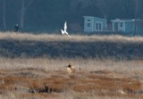White Tailed Kite and Northern Harrier 2