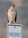 Cooper's Hawk - Avoid Contact