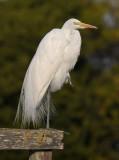 Great Egret - Yoga?
