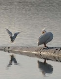 White Pelican and Gull