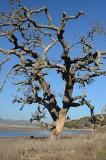 Scraggly Tree