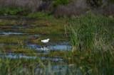 Snowy Egret In Marsh