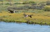Flying Canda Geese