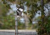 A Mockingbird Jump
