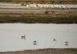 Avocets, Gulls and Pelicans