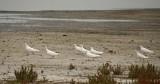 Eight White Pigeons
