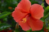 Another Salmon Hibiscus