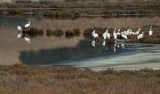 Pelicans and One Egret