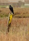 Crow on Yellow Post