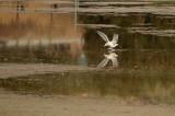 Water Skiing Gull