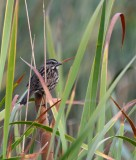 9/10/14: Song Sparrow on Cattails