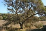Tree By Bridge