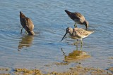 Closer View of Dowitchers