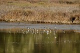 Least Sandpipers (most likely)