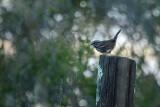 Jaunty Sparrow
