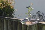 Dove in Bird Feeder