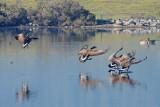 Landing Geese
