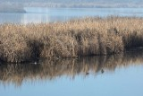 Reeds and Pied Bill Grebes