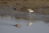 Ruddy Duck and Avocet