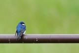 Birding Walk on Mt. Burdell - 5/3/15