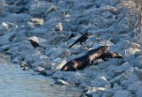 Two Otters and Three Grackles
