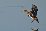Wigeon In the Air