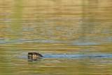 River Otter Swim