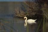 Swan By Scrub Brush
