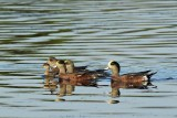 Lots of Wigeons and One Eared Grebe