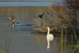 Swan with DucksTaking Off
