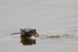 River Otter with Fish