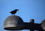 Crow with a Prize