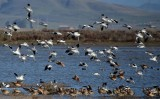 Avocets and Godwits Ready to Land