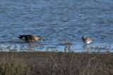 Wigeon and Plover