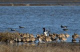 One Canvasback Stands Tall
