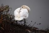 Swan Peeks At Us