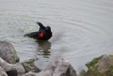 Red-winged Blackbird Bath