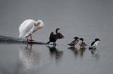 Pelican, Cormorant, & 3 Mergansers
