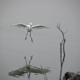 Snowy Egret Floating In