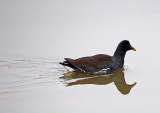 Common Gallinule (used to be Moorhen)