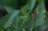 Closeup of Bee Plant
