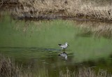 Greater Yellow Legs Reflected