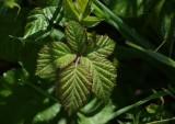 Wild Berry Leaves