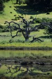 Dead Tree Reflected In The Marsh